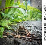 Small photo of A Japanese brown frog (Rana japonica) resting on wet ground beneath a large leaf that acts as an umbrella.