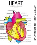 chart of heart anterior view... | Shutterstock .eps vector #554783104