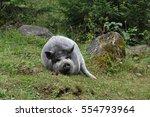 Vietnamese Pot Bellied Pig Lie...