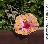 showy pink suffused with orange ... | Shutterstock . vector #554824120