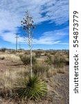 Tall Yucca Blossom Plant Along...