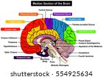 median section of human brain... | Shutterstock .eps vector #554925634