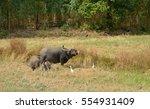 water buffalo eating grass in... | Shutterstock . vector #554931409