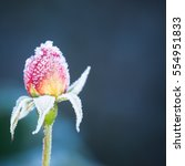 Pink Rosebud Covered In Frost...