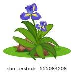 purple irish in the bush... | Shutterstock .eps vector #555084208