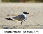 A Laughing Gull Rests On A...