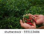 Close Up Hand Harvesting Chili...