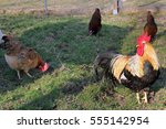 Small photo of Chickens on a farm. Cock and hens in open-air keeping