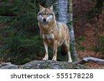 gray wolf | Shutterstock . vector #555178228