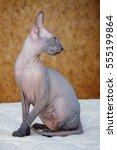 peterbald hairless cat sitting... | Shutterstock . vector #555199864