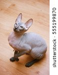peterbald hairless cat sitting... | Shutterstock . vector #555199870