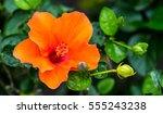 orange hibiscus flower as... | Shutterstock . vector #555243238