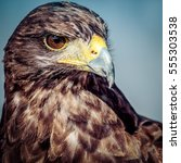 Small photo of Timber is a beautiful Harris Hawk.