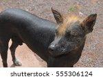 peruvian hairless dog | Shutterstock . vector #555306124
