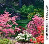 Azalea And Rhododendron Plants...