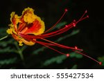pride of barbados flower  | Shutterstock . vector #555427534