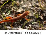 Red Spotted Newt Red Eft...