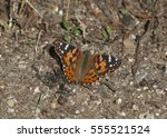 Painted Lady Butterfly  West...