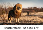 Stock photo single lion looking regal standing proudly on a small hill 555551179