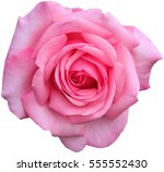 Stock photo beautiful close up pink rose isolated on white background 555552430
