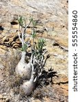 Small photo of Elephant's Foot Plant Pachypodium rosulatum in its natural environment