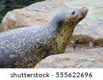 seal | Shutterstock . vector #555622696