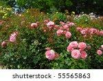Stock photo deep pink roses 55565863