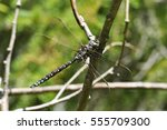 Small photo of The dragonfly Aeshna subarctica sitting on a twig