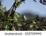Palm Warbler On Pokeberry Shru...