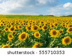 Sunflower Field With Cloudy...