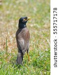 Small photo of Common Myna, Acridotheres tristis, bird in Tahiti and French Polynesia
