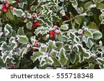 Holly With Red Berries Covered...