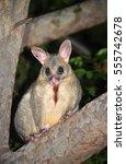 Australian Brushtail Possum ...