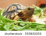 Stock photo  baby leopard tortoise walking slowly and sunbathe on ground with his protective shell cute animal 555833353