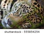 A Jaguar Sleeps In The Amazon...