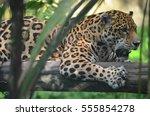 A Jaguar In The Amazon Rain...