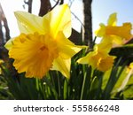 Backlit Yellow Daffodils Close...