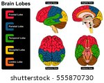 human brain anatomy set of... | Shutterstock .eps vector #555870730
