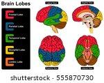 human brain anatomy set of... | Shutterstock .eps vector #555870730