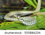 Grass Snake  Natrix Natrix  On...