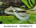 Grass snake (Natrix natrix) on pond with water lily leaf. Ringed snake. Water snake. Snake. Reptile. Reptilian.