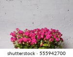 Stock photo pale pink shrub roses on white brick wall 555942700