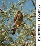 common kestrel  falco... | Shutterstock . vector #556025476