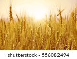 wheat plant with sunshine | Shutterstock . vector #556082494