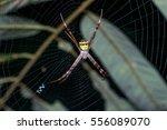 Orb Weaver Spider  Writing...