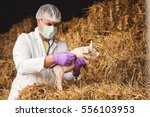 Stock photo veterinarian vaccinating a little pig 556103953