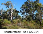 trees in the australian outback. | Shutterstock . vector #556122214