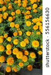 Small photo of Field of Orange Marigolds (Tagetes erecta, Mexican marigold, Aztec marigold, African marigold) in a garden on a sunny day