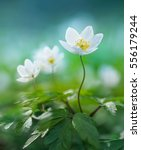 beautiful white spring flower... | Shutterstock . vector #556179244