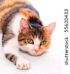 cat portrait | Shutterstock . vector #55620433